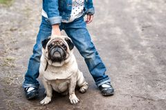 Charming pug looks at the camera. Dog in the legs Stock Image