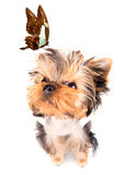 Charming Puppy with butterfly Royalty Free Stock Photo