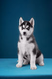 Charming puppy Husky with blue eyes stares into Stock Photo
