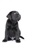 Charming Puppy Labrador Stock Image