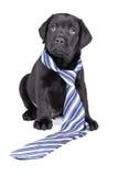 Charming Puppy Labrador In A Necktie Stock Photos