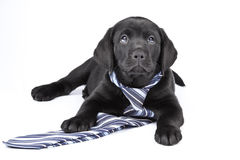 Charming Puppy Labrador In A Necktie Stock Images