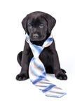 Charming Puppy Labrador In A Necktie Royalty Free Stock Photos
