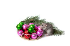 Cute pet. Charming rat Dumbo sits next to Christmas decorations and a pine branch. New Year card. Symbol of the New Year. Charming rat Dumbo sits next to royalty free stock images