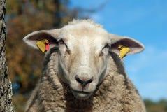 Charming sheep Royalty Free Stock Photos