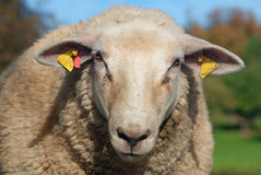 Charming sheep Stock Images
