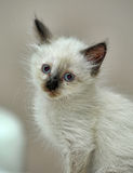 Charming Siamese kitten Stock Image