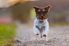 Charming smiling Jack Russell Terrier doggy is looking forwards and running on a street in the backlight stock image