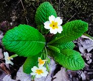 Charming spring flower in the mountains! stock image