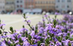 Charming violet blossoms before bokeh city background. Town. Nature in town.  royalty free stock photos