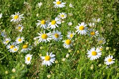 Charming white daisies royalty free stock image