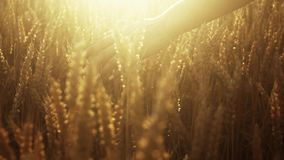 Charming woman's hand is touching the golden wheat's spikes. Bright sunshine, colorful view.