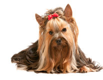 Charming yorkie on the white Royalty Free Stock Image