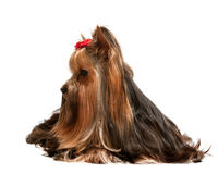 Charming yorkshire terrier Royalty Free Stock Photography