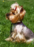 Charming Yorkshire terrier  in the grass. Stock Photo