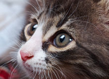 Charming young  cat. Expression eyes Royalty Free Stock Photo
