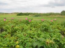 Charneca e rosas Fotografia de Stock Royalty Free
