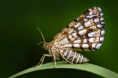 A charneca entrelaçada, clathrata de Chiasmia, é uma traça do Geometridae da família Borboleta bonita do nigt que senta-se na lic Fotografia de Stock