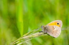 Charneca pequena, pamphilus de Coenonympha Foto de Stock