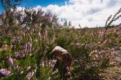 Charneca roxa de florescência nos Países Baixos Imagem de Stock Royalty Free