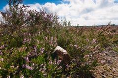 Charneca roxa de florescência nos Países Baixos Fotografia de Stock Royalty Free