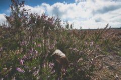 Charneca roxa de florescência nos Países Baixos Imagem de Stock