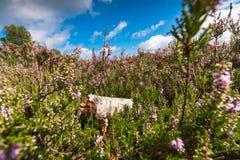 Charneca roxa de florescência nos Países Baixos Fotos de Stock Royalty Free