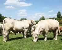Charolês Bull e vaca Fotografia de Stock Royalty Free