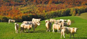 charolais αγελάδες Γαλλία Στοκ Φωτογραφία