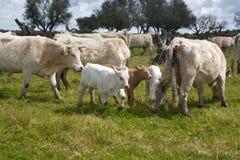 Charolais αγελάδες Στοκ Φωτογραφίες