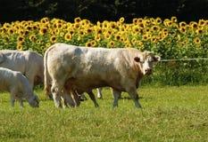 Charolais βοοειδή & ηλίανθοι Στοκ εικόνα με δικαίωμα ελεύθερης χρήσης