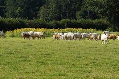 Charolais βοοειδή & ηλίανθοι Στοκ εικόνες με δικαίωμα ελεύθερης χρήσης