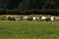 Charolais βοοειδή & ηλίανθοι Στοκ φωτογραφίες με δικαίωμα ελεύθερης χρήσης