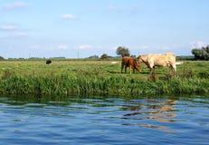 Charolais μητέρα αγελάδων και κόκκινος μόσχος Στοκ εικόνες με δικαίωμα ελεύθερης χρήσης
