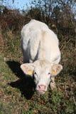 charolais камеры cow облицовка стоковое фото