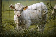 Charolais βοοειδή στο λιβάδι στη Βρετάνη Γαλλία Στοκ φωτογραφία με δικαίωμα ελεύθερης χρήσης