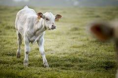 Charolais βοοειδή στο λιβάδι στη Βρετάνη Γαλλία Στοκ Φωτογραφία