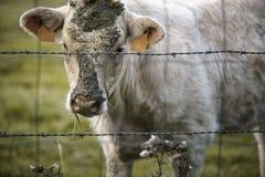 Charolais βοοειδή στο λιβάδι στη Βρετάνη Γαλλία Στοκ Εικόνα