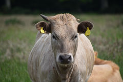 Charolais Angus cross bull. In a field Stock Image