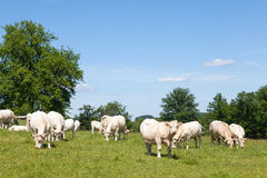 Charolais beef cows and bull grazing in a green pasture Royalty Free Stock Photography