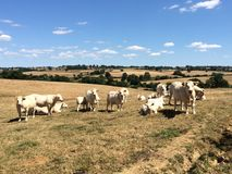Charolais breed cattle in the fields, Poisson, South Burgundy, France. Best meat, sweet and delicious cows, in Saône & Loire Stock Photo