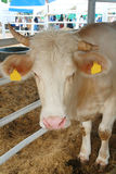 Charolais bull Royalty Free Stock Photos