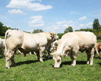 Charolais Bull And Cow Royalty Free Stock Photography