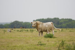 Charolais Bull grazing. A Charolais Bull grazing in a pasture with other livestock Stock Image