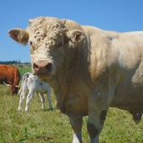 Charolais bull, herd keeper. In Auvergne, Puy-de-Dôme royalty free stock image