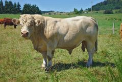 Charolais bull, herd keeper. In Auvergne, Puy-de-Dôme royalty free stock images