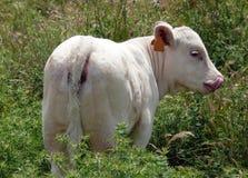 Charolais calf. Introducing his tongue in her nose Stock Photos