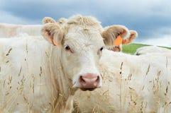 A Charolais calf. A purebred Charolais calf in a field Royalty Free Stock Photo