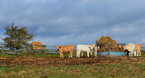 Charolais Cattle at the Bale Feeder Stock Images
