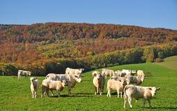Charolais Cattle,,Burgundy,Burgund Stock Image